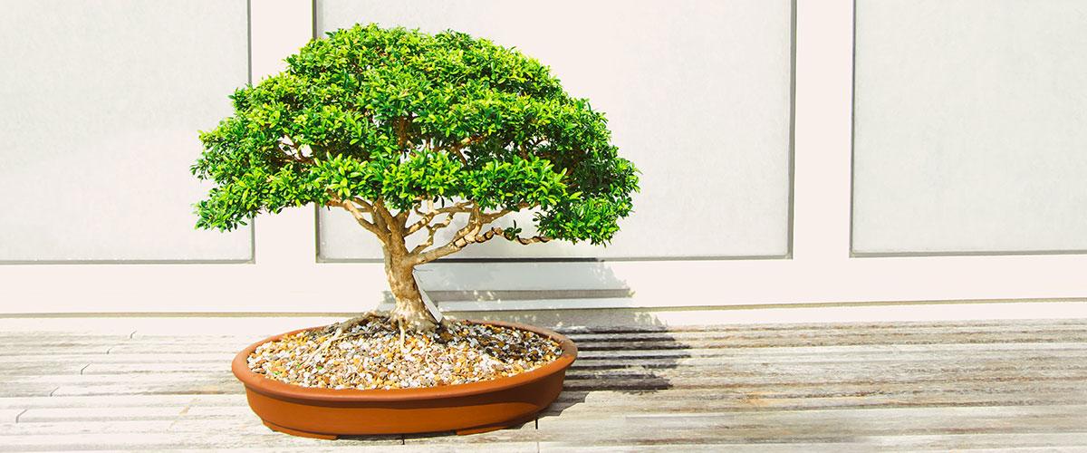 Mots anglais venus du chinois comme bonsai