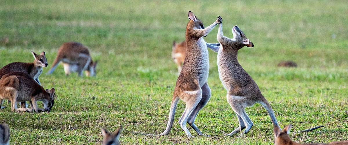 Des kangourous font de la boxe