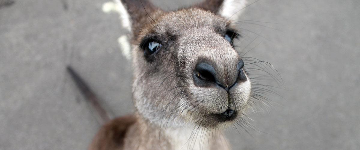 Voir un kangourou en Australie